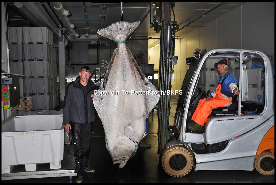 BNPS.co.uk (01202) 558833<br /> Picture: Tor Petter Krogh<br /> <br /> **please use byline**<br /> <br /> Plucky angler Marco Liebenow is celebrating today after smashing the world record for the biggest halibut fish ever caught on rod and line. The enormous flat fish tipped the scales at a whopping 37 stones - heavier than an Asian elephant. Marco jokingly thought he had hooked into a submarine when the monster halibut took his bait. After taking 90 minutes reeling it towards the surface he and two friends tied a rope around the tail of the 9ft long fish and towed it back to shore where it was weighed at 513lbs.