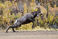 During the Fall Rut, Big Horn Sheep Rams fight for females by launching themselves into each other, striking their horns together in a thunderous crash. Here, a Ram in Waterton Canyon, Colorado is fully exyended about to strike another Ram, just out of the frame.