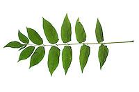 Götterbaum, Chinesischer Götterbaum, Ailanthus altissima, Ailanthus glandulosa, tree of heaven, ailanthus, chouchun, L'Ailante glanduleux, Ailante, Faux vernis du Japon, Vernis de Chine. Blatt, Blätter, leaf, leaves