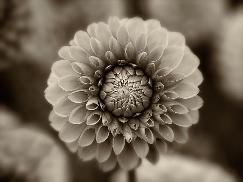 Close up of Maarn Dahlia. Oregon
