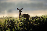Whitetail doe in a foggy sunrise in Montana