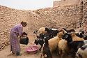 Morocco - Tidzi - Amina Hammoush's dauther gives water to the goats in their courtyard's house.