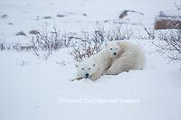 01874-13506 Polar Bear (Ursus maritimus) female with cub, Churchill Wildlife Management Area, Churchill, MB