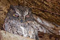 Madagascar Scops Owl sitting in tree hollow