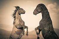 Showdown - Mustangs - Utah - Wild Horses (Dust Storm version)