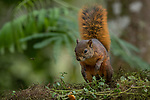 Ecuador, Andean cloud forest, northern Amazon red squirrel (Sciurus igniventris)