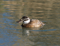 White-headed Duck, Female - Oxyura leucocephala