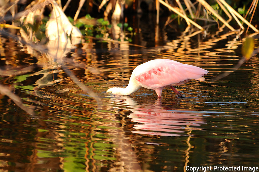 Beautiful Rose colored Spoonbill searching for food, and presenting a magnificent reflection in the water along with reflections of surrounding plants. Photographed at Wakodahatchee Wetlands, Delray Beach, Florida.