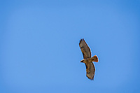 Red-tailed Hawk (Buteo jamaicensis) soaring.  Western U.S., June.