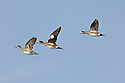 00318-007.10 American Wigeon flock in flight against a blue sky.  Hunt, waterfowl, baldpate, fly, action, waterfowl.