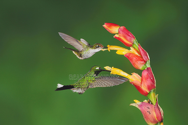 Booted Racket-tail(Ocreatus underwoodii)Purple-bibbed Whitetip (Urosticte benjamini), adults feeding on flower,Mindo, Ecuador, Andes, South America