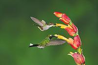 Booted Racket-tail(Ocreatus underwoodii)Purple-bibbed Whitetip (Urosticte benjamini), adults feeding on flower,Mindo, Ecuador, Andes, South America