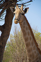 Head shot of a giraffe in Victoria Falls, Zambia Africa