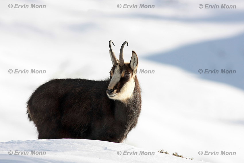 Side view of a chamois buck standing in the snow and looking to the photographer