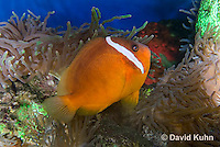 0322-1121  Tomato Clownfish, Amphiprion frenatus, with Bubble-tip Anemone, Entacmaea quadricolor  © David Kuhn/Dwight Kuhn Photography