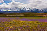 Majestic field of purple and yellow wildflowers with the High Sierra mountains in the background just north of Bishop, California.