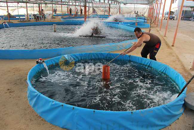 A Palestinian man works at a fish farm which its water bring from the sea, close to the southern Gaza Strip town of Rafah on Nov. 15, 2011. Photo by Hatem Omar