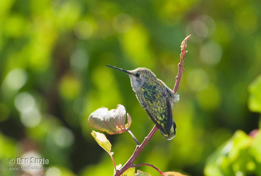 Anna's hummingbird, Calypte anna. Santa Cruz Mountains, California.