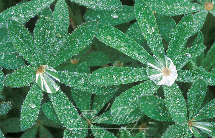 Dewdrops on Lupine Leaves, Olympic NP, WA, USA