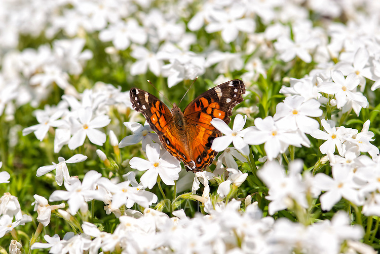 American Lady Butterfly on white phlox.
