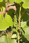 Chile Wine Country: Grape vine buds in spring, grape cluster forming, at Undurraga Winery, Vina Undurraga, near Santiago..Photo #: ch427-32823..Photo copyright Lee Foster, 510-549-2202, www.fostertravel.com, lee@fostertravel.com.