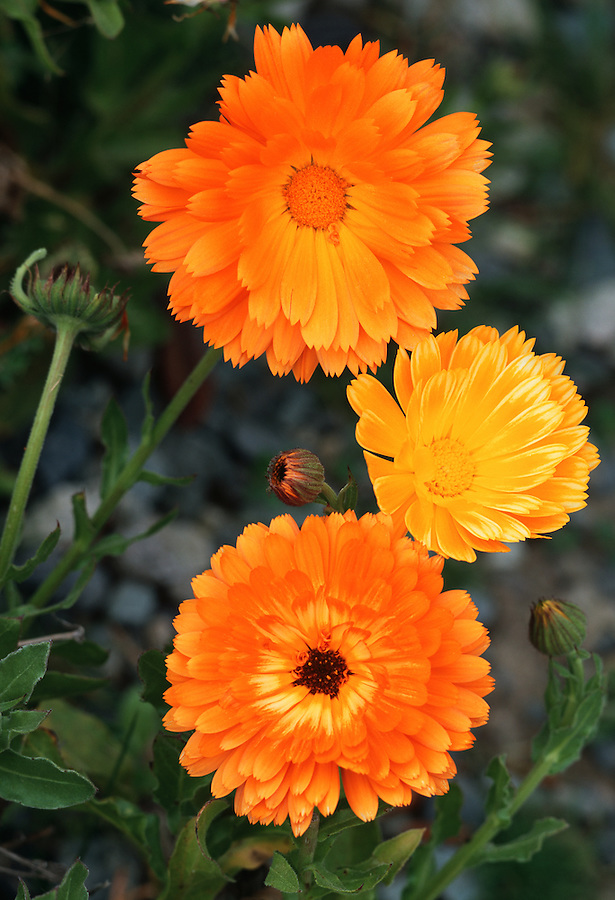 Three bright orange flowers are seen near unopened flowers and green foliage.