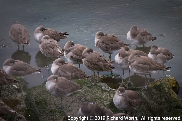 As a storm moves in, evidenced by the raindrops on the water, a bind of Willets gathers on the shore, many tucking their bills under their wings, preparing to weather the storm.