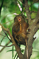 Pygmy Marmoset (Cebulla pygmaea)--smallest new world primate.  South America.