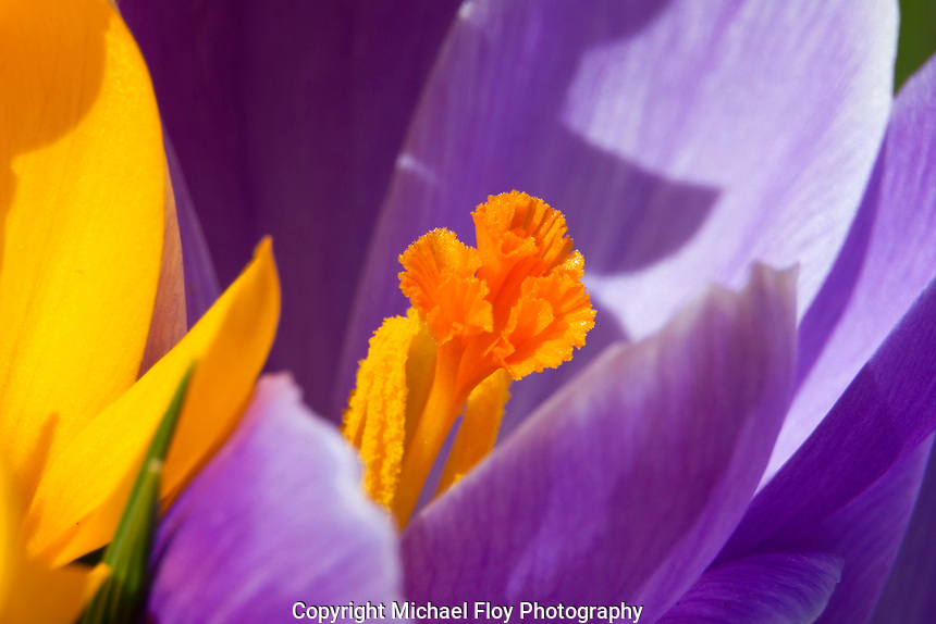 Close-up of Crocus.