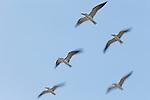 Black Skimmer (Rynchops niger) flock flying, Amelia Island, Florida