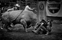 Black & white image of a rodeo - Revenge of the bull A bull buries his head into a cowboy after the ride. United States Rodeo.