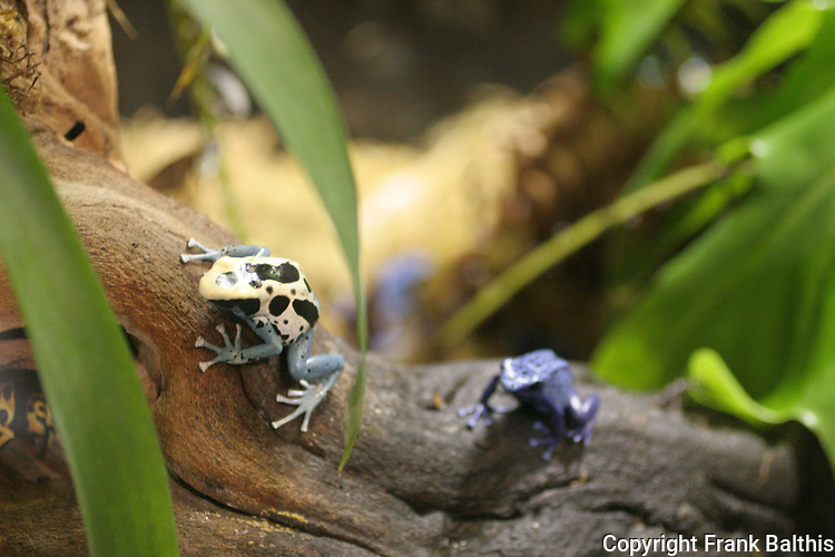 poison dart frogs