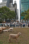 Sheep in Bryant Park in New York City for the Campaign for Wool, launched by HRH The Prince of Wales to promote the sustainable benefits of wool