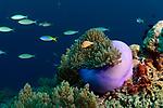 Purple Anemone reef scene ,Visayas, Philippines 2017