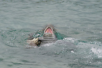 Hawaiian monk seal, Neomonachus schauinslandi, 2.5 year old male playing with green sea turtle or honu, Chelonia mydas, howls when the turtle bites it back, Pu'uhonua o Honaunau ( City of Refuge ) National Historical Park, Kona, Hawaii ( Big Island ) Hawaiian Islands, USA, ( Central Pacific Ocean )
