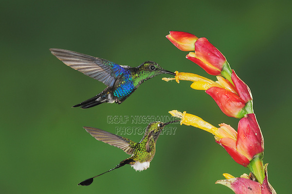 Booted Racket-tail(Ocreatus underwoodii), Green-Crowned Woodnymph (Thalurania fannyi),adults feeding on ginger flower,Mindo, Ecuador, Andes, South America