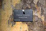 Tree species identification label, National arboretum, Westonbirt arboretum, Gloucestershire, England, UK - London Plane, Platanus x hispanica