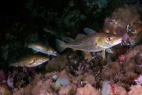 Cod, Gadus Morhua.Atlantic marine life, Saltstraumen, Bodö, Norway