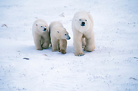 Polar bear sow and cubs of the year wait for the ice form on the Hudson bay in Churchill, Manitoba, CANADA