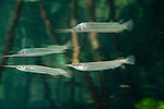 Estuarine halfbeak (Zenarchopterus disper) reflection. North Raja Ampat, West Papua, Indonesia
