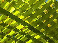 A close-up of overlaid palm fronds, Big Island.