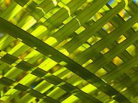 A close-up of overlaid palm fronds, Big Island.