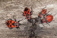 Gemeine Feuerwanze, Adulte und Larve, Larven, Nymphe, Nymphen, Feuer-Wanze, Pyrrhocoris apterus, firebug