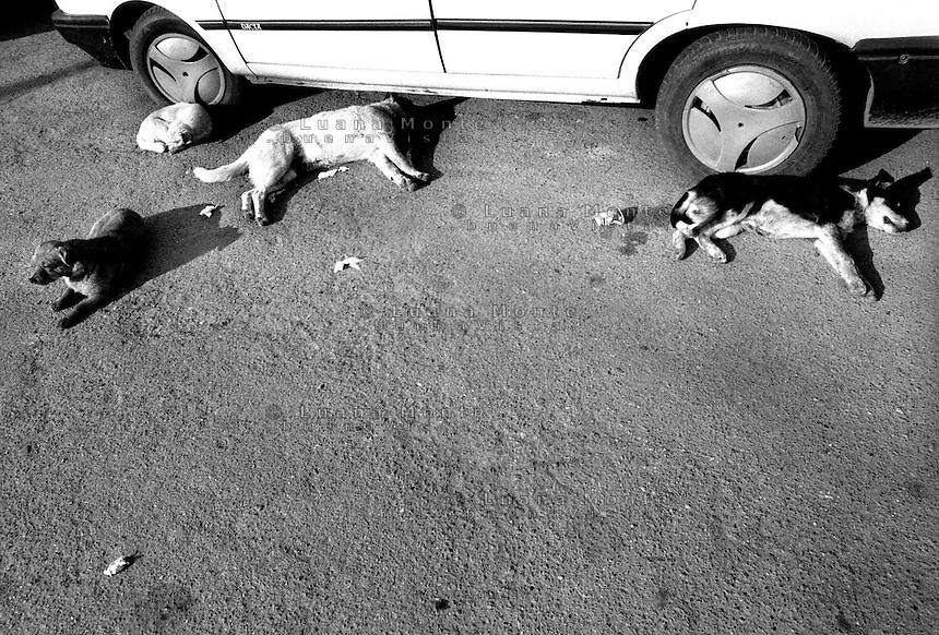 - Delta del Danubio, Tulcea. Cani randagi, assai noti e numerosi nell'area del delta..- Danube Delta Area, Tulcea. Alley dogs are a lots in Danube Delta Area..