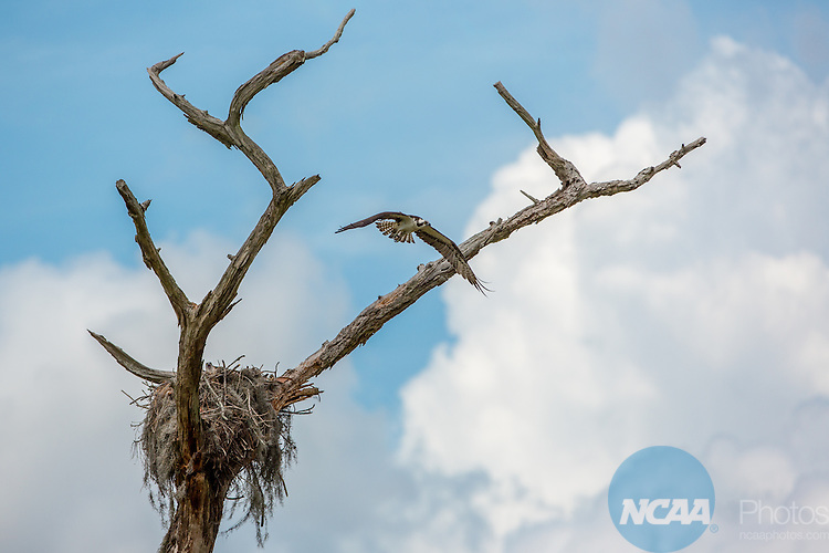 15 May 2015: An osprey nest on the back nine at the Mission Inn Resort in Howey-in-the-Hills, FL during the Division III Women's Golf Championship. Williams College won the team championship with a score of +111 and McKenzie Ralston of Mary Hardin-Baylor took individual honors with a score of +13. Matt Marriott / NCAA Photos