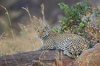 Leopard (Panthera pardus) in the kopjes of Northern Serengeti