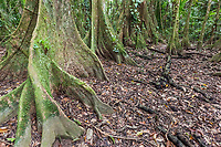Fica tree trunks in the jungle of Belize