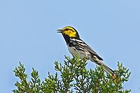Endangered Golden-cheeked Warbler