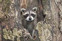 """Waschbär, etwa 2 Monate altes Jungtier in einer Baumhöhle, Höhle im Baum, Portrait, Porträt, Waschbaer, Wasch-Bär, Procyon lotor, Raccoon, Raton laveur, """"Frodo"""""""