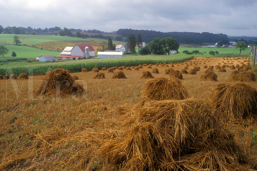 Ohio, amish, Holmes County, A field of hay harvested on an Amish farm in Holmes County. The hay is stacked by hand.